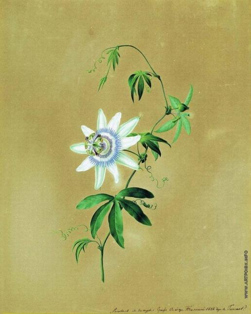 Толстой Ф. П. Цветок кавалерская звезда