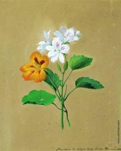 Толстой Ф. П. Цветы настурции