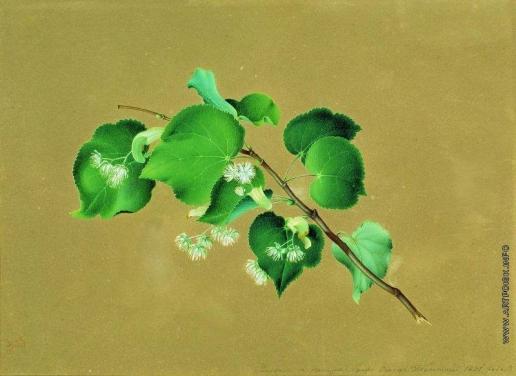 Толстой Ф. П. Ветка липы в цвету